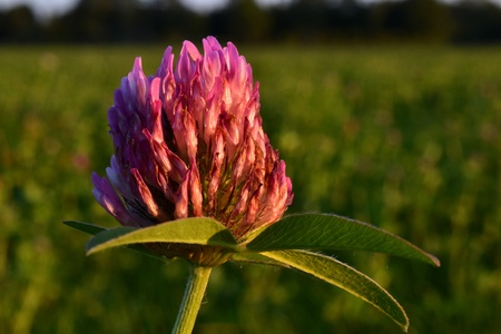 In the meadows in Zelhem, The Netherlands,  grows there red clover, Trifolium pretense, on the grassland  Stock Photo - 15332737