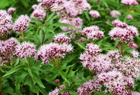 valerian: Lungo il Boelekeerlpad in Zelhem, Paesi Bassi, la valeriana � in fiore