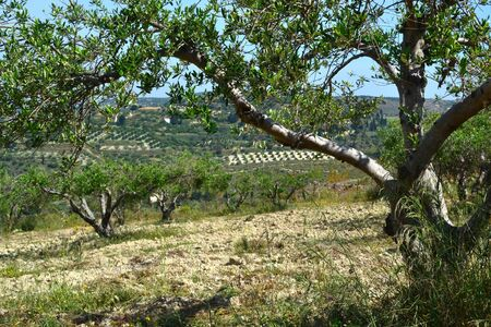 Olive trees in the hills at Sambas on Crete, Greece  Stock Photo