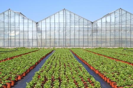 De papaver somniferum of in voorschoten is een teler planten klaar om naar het centrum te worden vervoerd als zij op de teelt Stockfoto