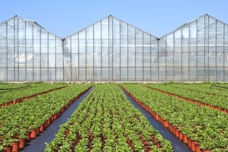 grower: The poppy or somniferum in voorschoten is a grower plants ready to go to the centre to be transported if they on cultivation