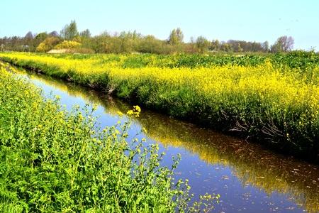 napus: Rapeseed along a ditch in the Vlielanden in Leidschendam, Netherlands