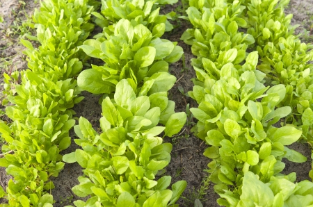Bed with leaf spinach in the vegetable garden  photo