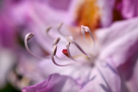 zoomed in: Pistil and Stamen of the Rhododendron flower