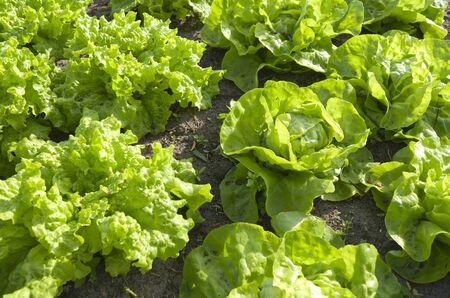 Lettuces in the vegetable garden