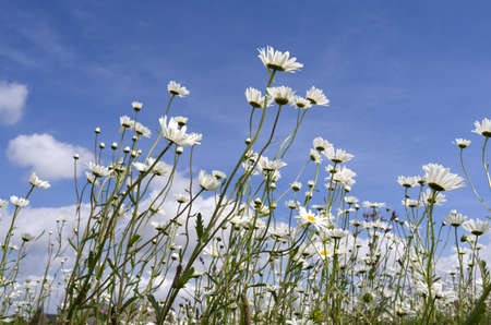 Field with daisies  photo