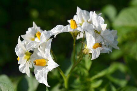 Flower of a potato race Raja in the vegetable garden De Groentenhof in Leidschendam, Netherlands  Stock Photo