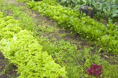 Lettuce and beets in the organic vegetable garden  Stock Photo