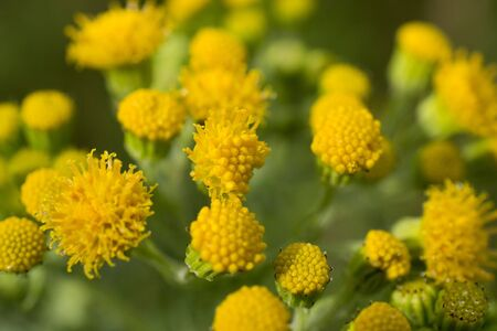 micro recording: Dune ragwort in bloom
