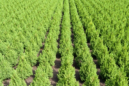 Rows of yew taxus trees in a nursery in Hazerswoude Netherlands