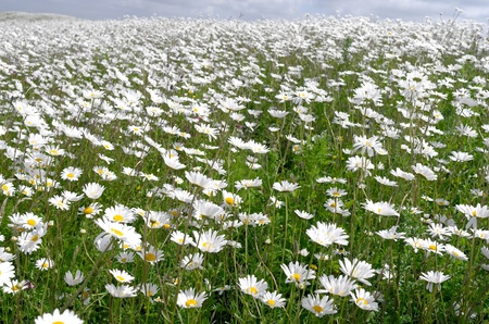 savagery: Dike with daisies in bloom on the island Tiengemeten in The Netherlands