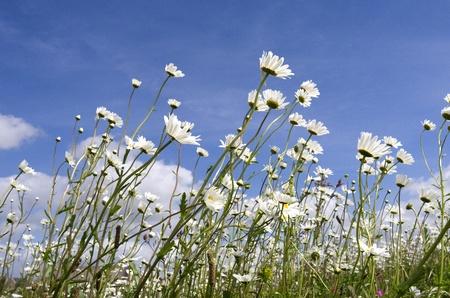 Daisy flowers against a blue sky on the island Tiengemeten in Netherlands