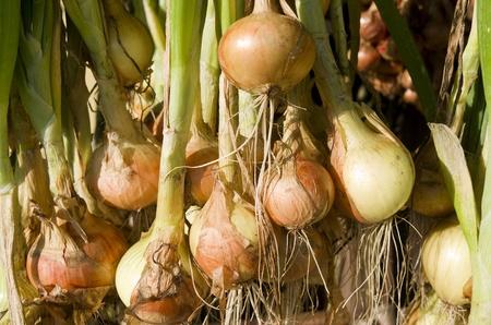 leidschendam: Onions hanging to dry in the organic vegetable garden Groentenhof in Leidschendam, Netherlands  Stock Photo