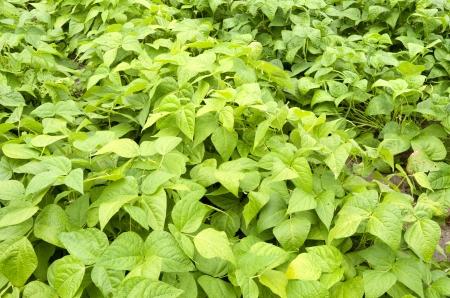 leidschendam: Green beans from the race Saxa in the organic vegetable garden Groentenhof in Leidschendam, Netherlands