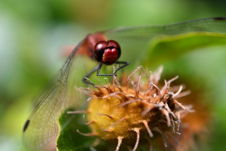 Close-up of a red dragonfly on an acorn  Stock Photo