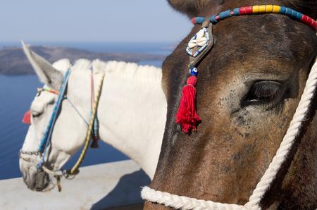 Donkey in Thira on Santorini island in Greece Stock Photo - 22865214