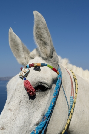 thira: Donkey in Thira on Santorini island in Greece  Stock Photo