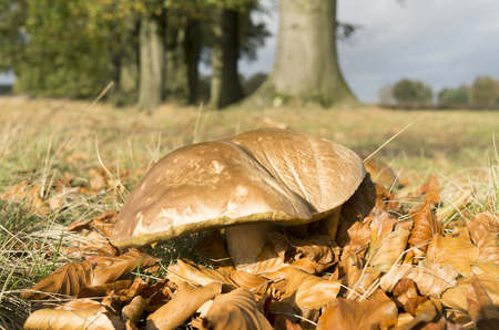 Suillus bovinus mushroom in the National Park De Hoge Veluwe, Netherlands  photo
