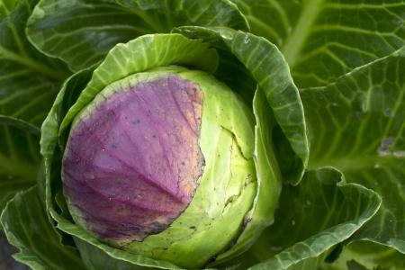 leidschendam: White cabbage in the in the organic vegetable garden Groentenhof in Leidschendam, Netherlands  Stock Photo