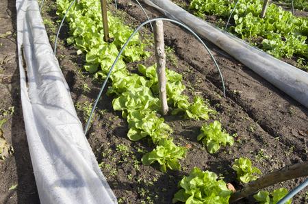 Lettuce and endive in a greenhouse in the organic vegetable garden Groentenhof in Leidschendam, Netherlands  Stock Photo