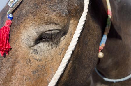 thira: Donkey in Thira on Santorini island in Greece  Stock Photo