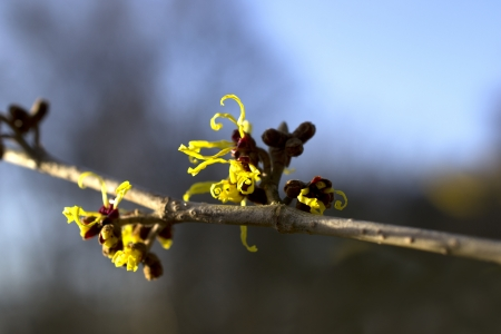 witchhazel: Hamamelis or witch-hazel in bloom in the Netherlands  Stock Photo