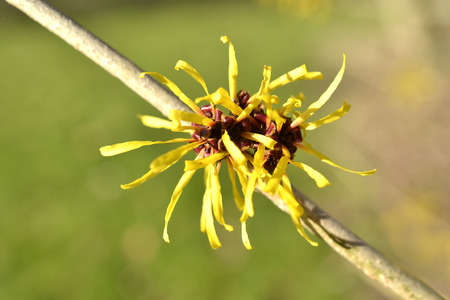 Hamamelis or witch-hazel in bloom in the Netherlands  Stock Photo