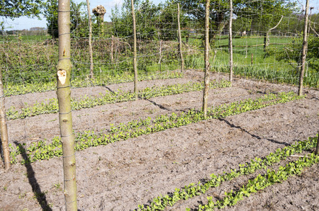 Beans Stakes and mesh for marrowfats in the vegetable garden Groentenhof in Leidschendam, Netherlands