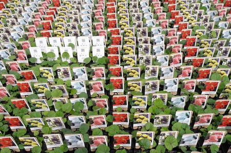 hollyhocks: NETHERLANDS - VOORSCHOTEN - CIRCA APRIL 2014  Hollyhocks plants at the wholesale
