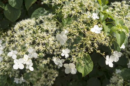 hydrangea macrophylla: Blooming white Hydrangea in The Netherlands