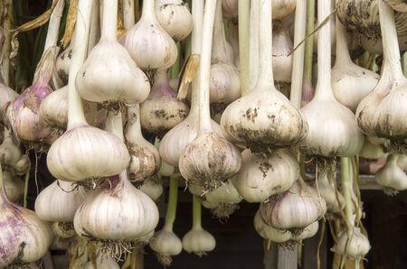 alliaceae: Garlic hanging to dry in the organic vegetable garden The Groentenhof in Leidschendam, Netherlands  Stock Photo
