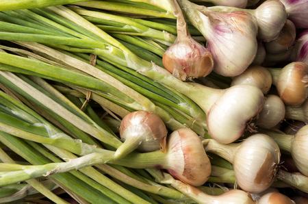 Onions are drying in the organic vegetable garden Groentenhof in Leidschendam, Netherlands