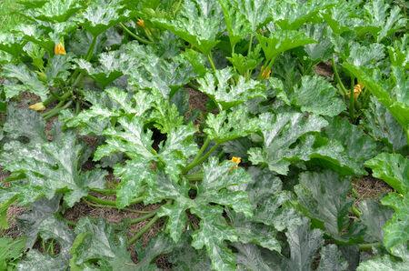 leidschendam: Zucchini plants in the organic vegetable garden Groentenhof in Leidschendam, Netherlands