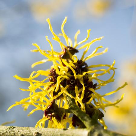 witchhazel: Hamamelis or witch-hazel in bloom. Stock Photo