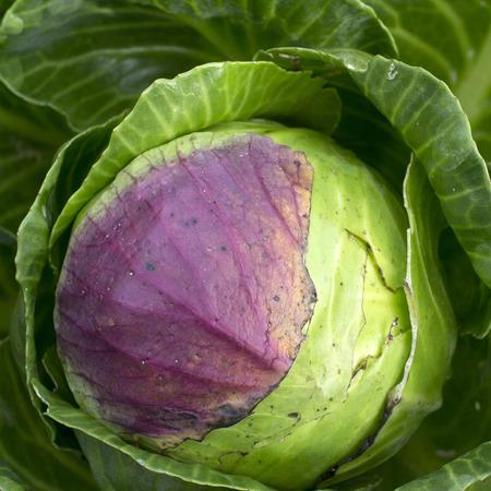 leidschendam: White cabbage in the in the organic vegetable garden Groentenhof in Leidschendam, Netherlands. Stock Photo