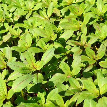 lizzie: Little spring busy Lizzie plants in a field.