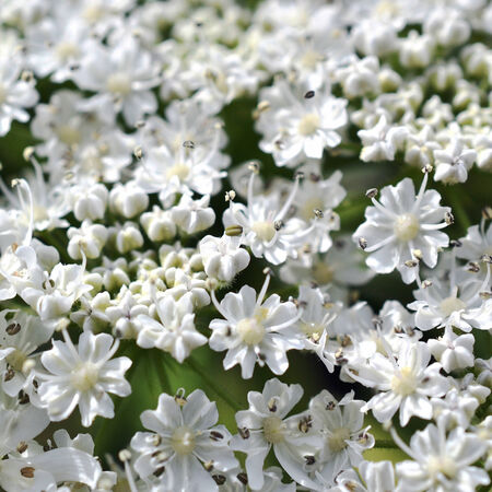 berm: Micro photo from a Giant Hogweed or Heracleum mantegazzianum in bloom. Stock Photo