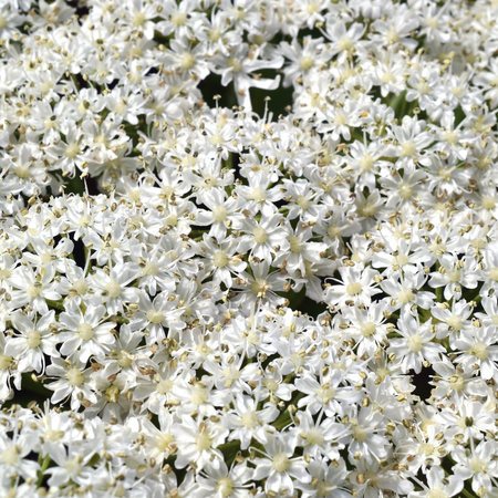 Micro photo from a Giant Hogweed or Heracleum mantegazzianum in bloom. Stock Photo