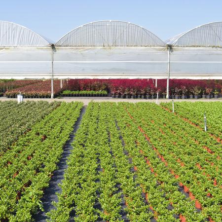 veronica flower: Nursery with greenhouses in Hazerswoude, The Netherlands.