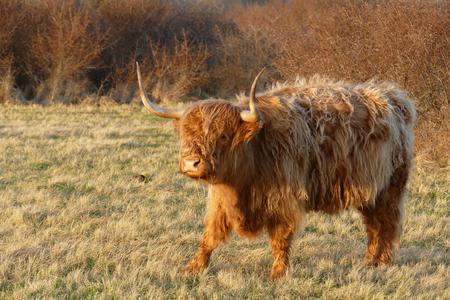 highlander: Monta��s escoc�s en la naturaleza Lentevreugd Wassenaar, Holanda.