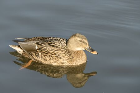 delft: Wild duck swimming in the water in Delft, Netherlands. Stock Photo