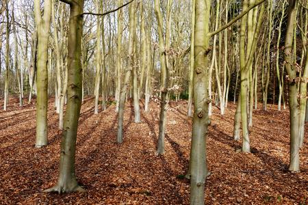 Beech trees in De Horsten estate in Wassenaar, Netherlands.