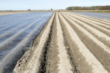 horticulture: Asparagus covered with plastic in a field in Paesens Netherlands.