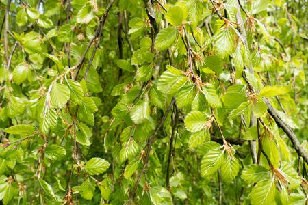 leidschendam: Young leaves of a weeping beech in Leidschendam Netherlands. Stock Photo