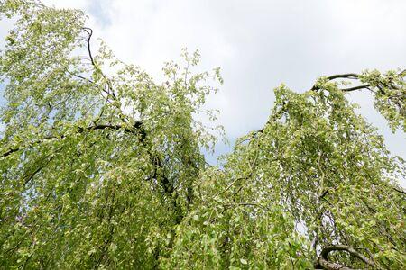 leidschendam: Young leaves of a weeping beech in Leidschendam Netherlands. Stock Photo