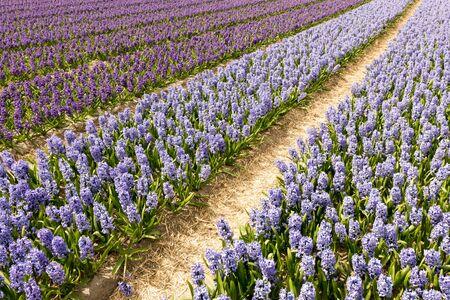 Bulbs fields in the Netherlands near De Zilk.