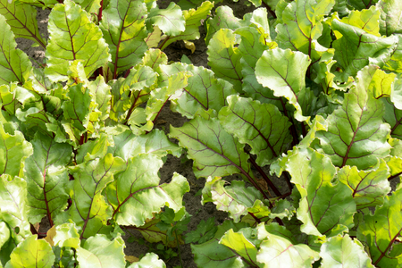 leidschendam: Rows of beets in the organic vegetable garden Groentenhof in Leidschendam, The Netherlands. Stock Photo