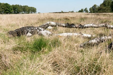 veluwe: Landscape with dead birch tree in National Park Hoge Veluwe, Netherlands.