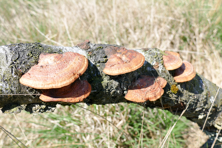 birch tree: Birch mushrooms on a birch tree in the National Park Hoge Veluwe, Netherlands. Stock Photo
