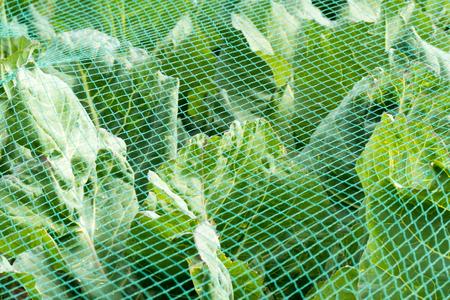leidschendam: Cabbage under a protective net in the organic vegetable garden Groentenhof in Leidschendam, Netherlands.